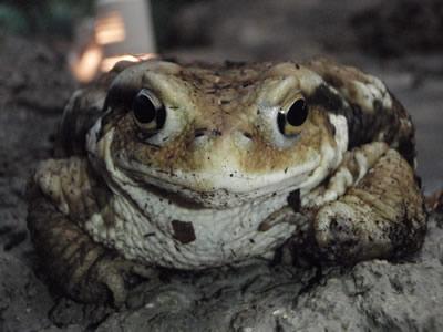ニホンヒキガエルの画像 p1_23